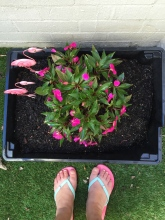 Impatiens were blooming thanks to Dad's planting on his first visit... Winter frost has killed this plant, but I have my memories!