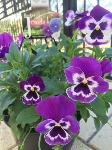 my hardy petunias