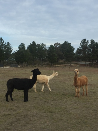 Meeting the llamas at a friend's place just outside Canberra. I'm pretty sure they were all named after hot beverages