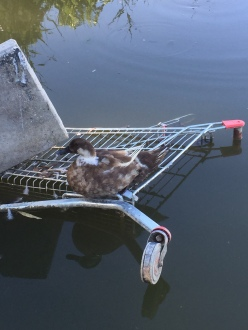 One of Canberra's beautiful suburban ponds with trolley art-installation